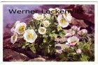 Ansichtskarte Blumen Alpenranunkeln Ranunculus alpestris