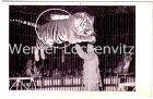 Ansichtskarte Hamburg-Stellingen Zirkus Circus Willy Hagenbeck Tiger in der Manege