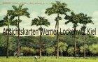 Ansichtskarte Postcard Trinidad Port of Spain Trinidad Cabbage Palms Queens Park Savana