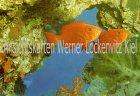 Ansichtskarte Israel Eilat Goggle-eye PRIACANTHUS HAMBUR Fische