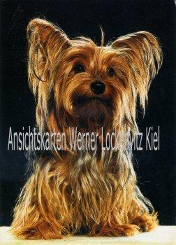 Ansichtskarte Yorkshire Terrier