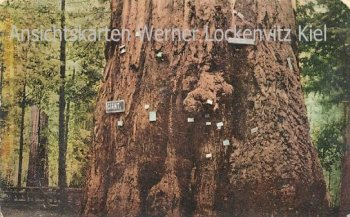 Ansichtskarte Postcard USA Mammutbaum giant redwood sequoia