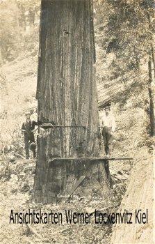 Ansichtskarte USA Holzfäller beim Fällen eines Mammutbaumes